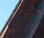 Spinnennetz im Januar: Die Tiere geniessen den milden Winter (Klicken für grosse Fassung)