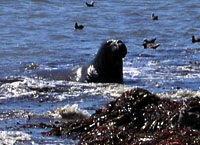 Elephant Seal, Año Nuevo State Reserve, 4. August 2006
