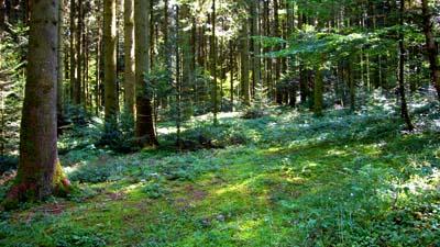 Waldstück bei Niedermuhlern (12. August 2007)