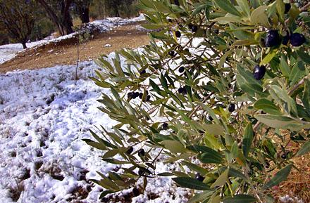 Olivenernte 2007 in Seillans (Var) - am 15. November gabs Schnee