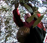 Apu im Baum: Olivenernte 2005
