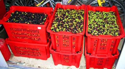 Olivenernte 2005: Rekordmengen...