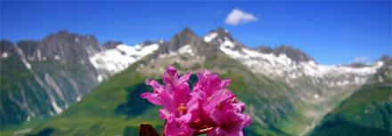 Alpenrosen mit Piz Culmatsch, 5. Juli 2008