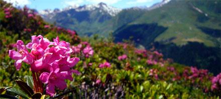 Alpenrosen auf der Alp Tgom, mit Pazolastock und Calmut - 5. Juli 2008