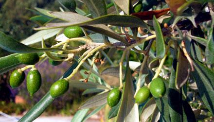 Arbeit im November: Die neue Olivenernte kommt! (Juli 2008)